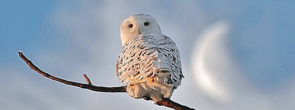 Snowly Owl (Vaping Birdy)