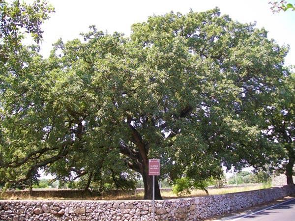 quercia-vallonea