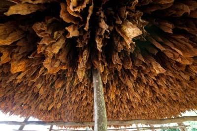 burley-tobacco