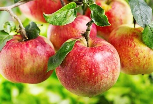 Ripe_apple_on_branch2