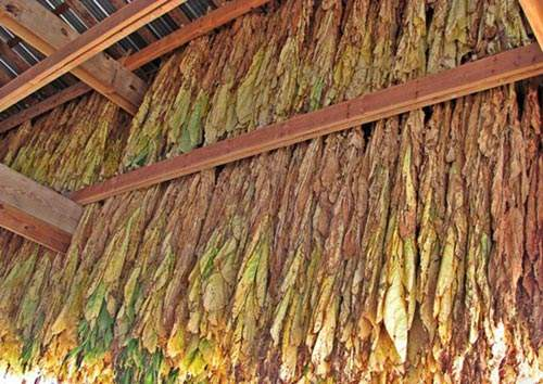 burley-tobacco-in-barn