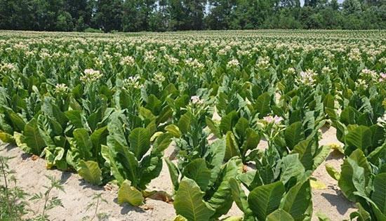 tabacco kentucky