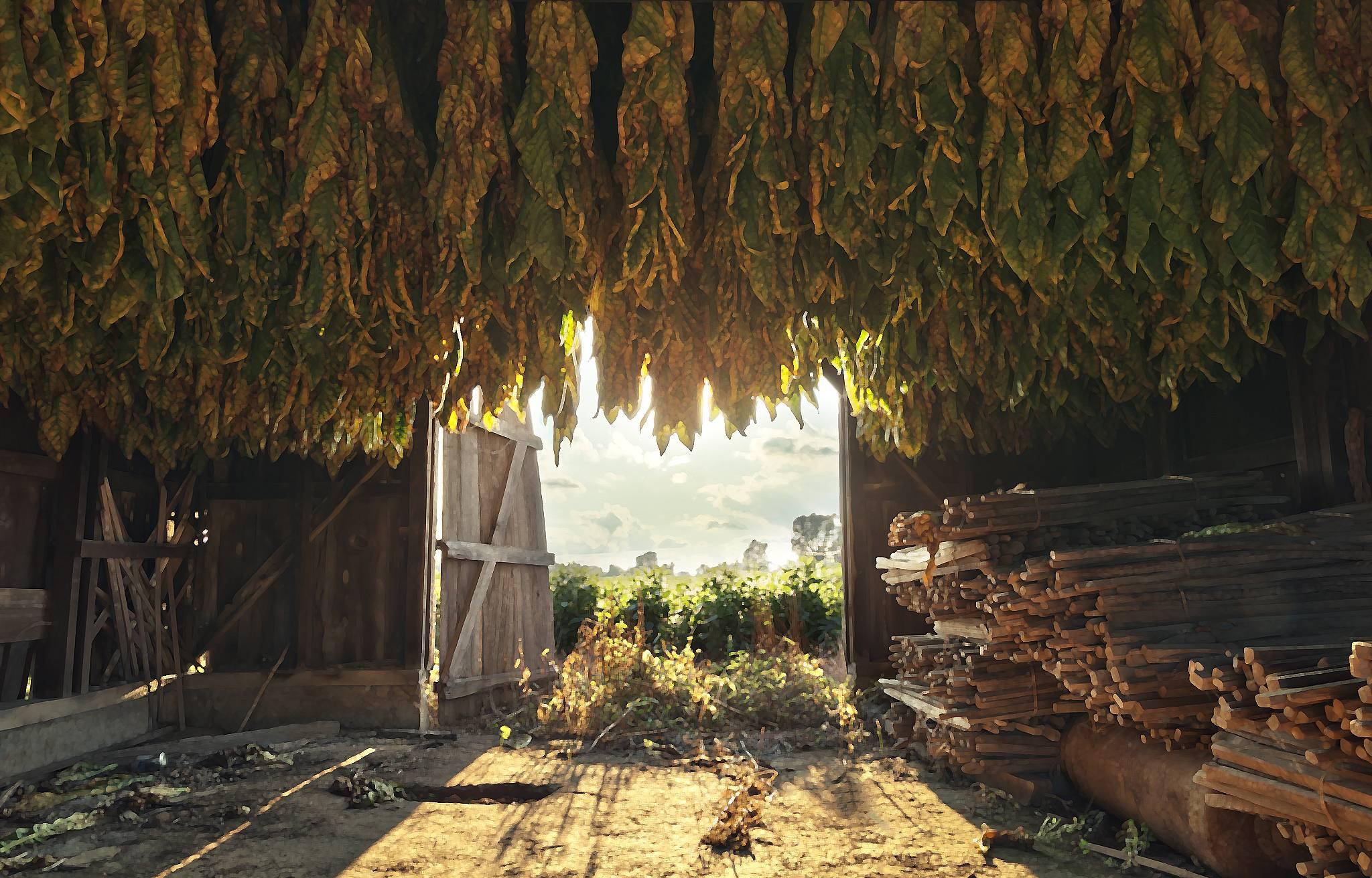 Bold tobacco (Capella)
