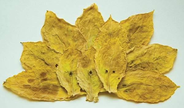 Foglia di tabacco orientale