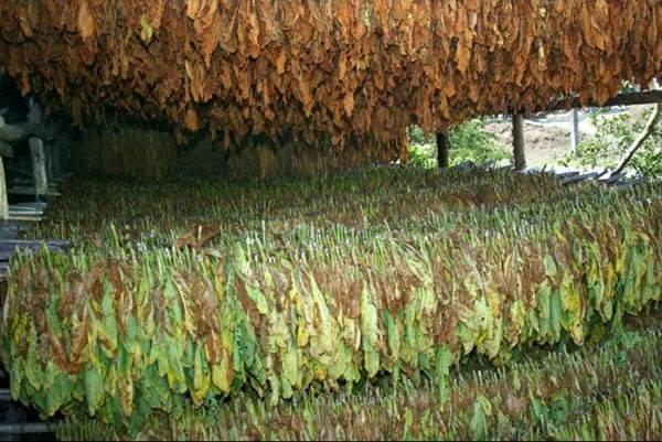 Tabacco Samsun