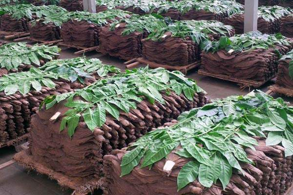 Bezuki tobacco