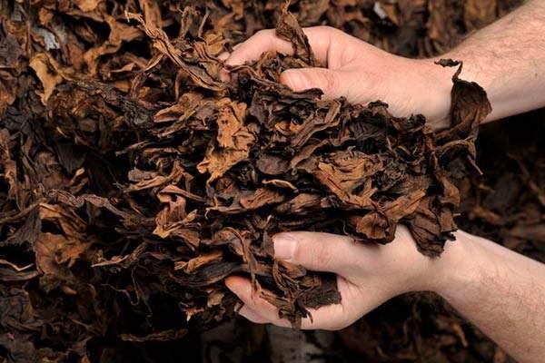 Tabacco kentucky tra le mani